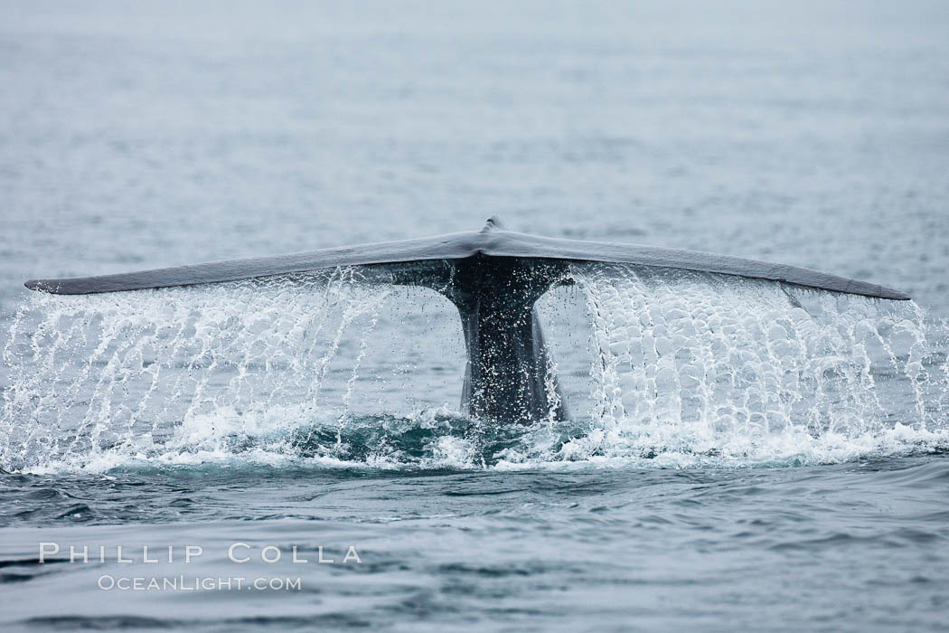 Water falling from a blue whale fluke as the whale dives to forage for food in the Santa Barbara Channel. Santa Rosa Island, California, USA, Balaenoptera musculus, natural history stock photograph, photo id 27024