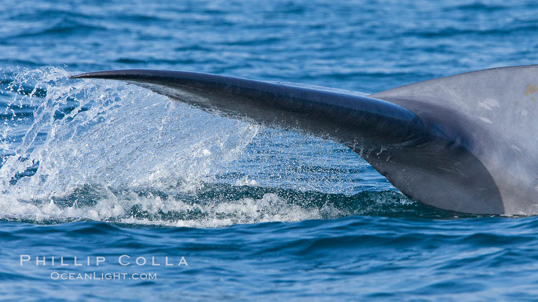 Blue whale, raising fluke prior to diving for food, fluking up, lifting tail as it swims in the open ocean foraging for food. Dana Point, California, USA, Balaenoptera musculus, natural history stock photograph, photo id 27350