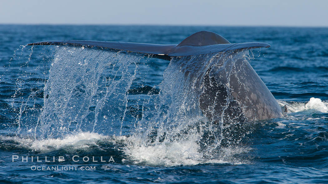 Blue whale, raising fluke prior to diving for food, fluking up, lifting tail as it swims in the open ocean foraging for food. Dana Point, California, USA, Balaenoptera musculus, natural history stock photograph, photo id 27353