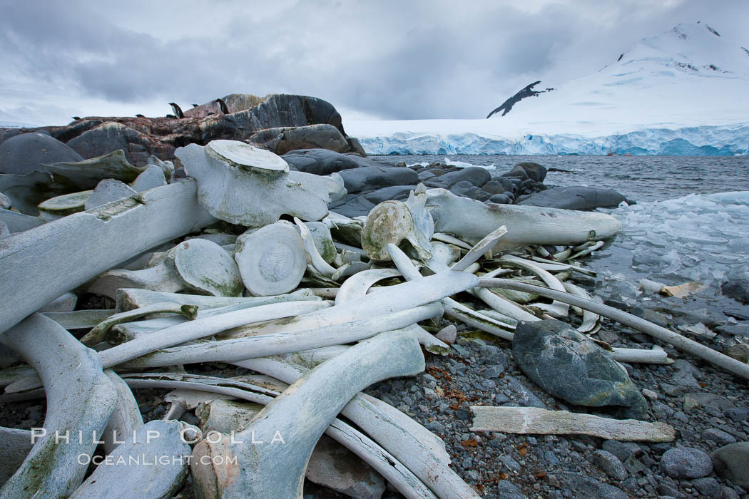 Blue whale skeleton in Antarctica, on the shore at Port Lockroy, Antarctica.  This skeleton is composed primarily of blue whale bones, but there are believed to be bones of other baleen whales included in the skeleton as well. Antarctic Peninsula, Balaenoptera musculus, natural history stock photograph, photo id 25644