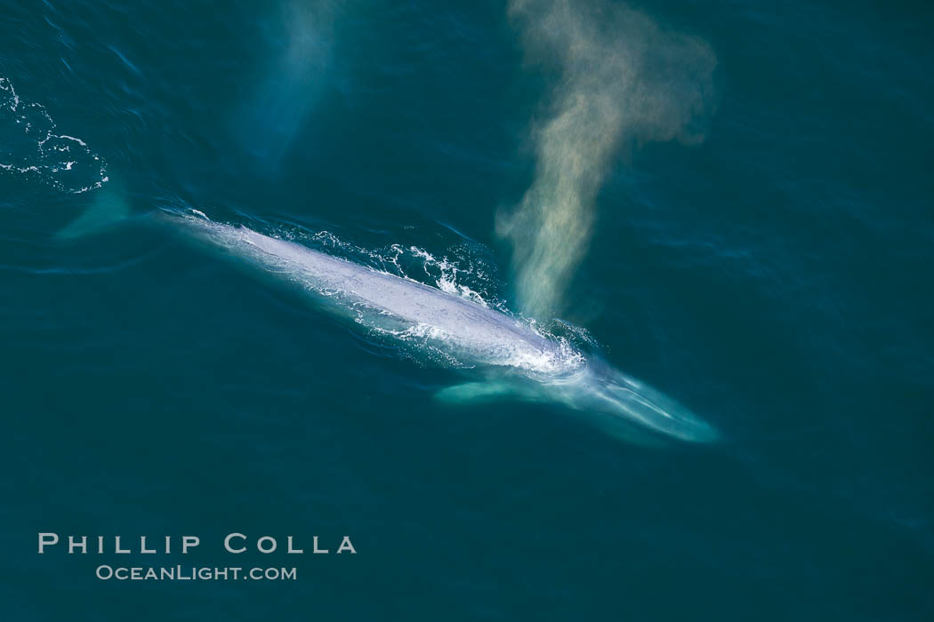 Blue whale, exhaling as it surfaces from a dive, aerial photo.  The blue whale is the largest animal ever to have lived on Earth, exceeding 100' in length and 200 tons in weight. Redondo Beach, California, USA, Balaenoptera musculus, natural history stock photograph, photo id 25954
