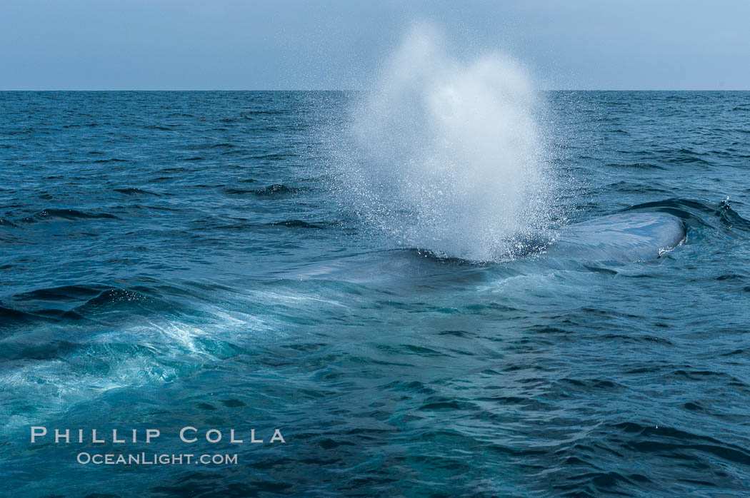 A blue whale blows (exhales, spouts) as it rests at the surface between dives.  A blue whales blow can reach 30 feet in the air and can be heard for miles.  The blue whale is the largest animal on earth, reaching 80 feet in length and weighing as much as 300,000 pounds.  Near Islas Coronado (Coronado Islands). Coronado Islands (Islas Coronado), Coronado Islands, Baja California, Mexico, Balaenoptera musculus, natural history stock photograph, photo id 09504