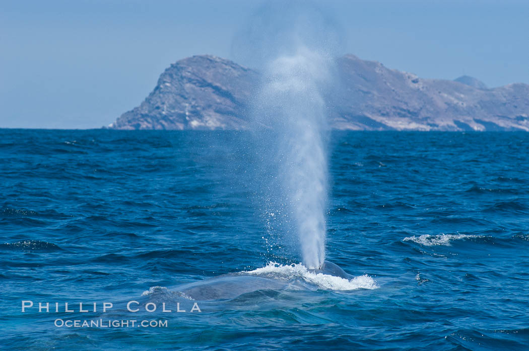 A blue whale blows (exhales, spouts) as it rests at the surface between dives.  A blue whales blow can reach 30 feet in the air and can be heard for miles.  The blue whale is the largest animal on earth, reaching 80 feet in length and weighing as much as 300,000 pounds.  North Coronado Island is in the background. Coronado Islands (Islas Coronado), Coronado Islands, Baja California, Mexico, Balaenoptera musculus, natural history stock photograph, photo id 09497