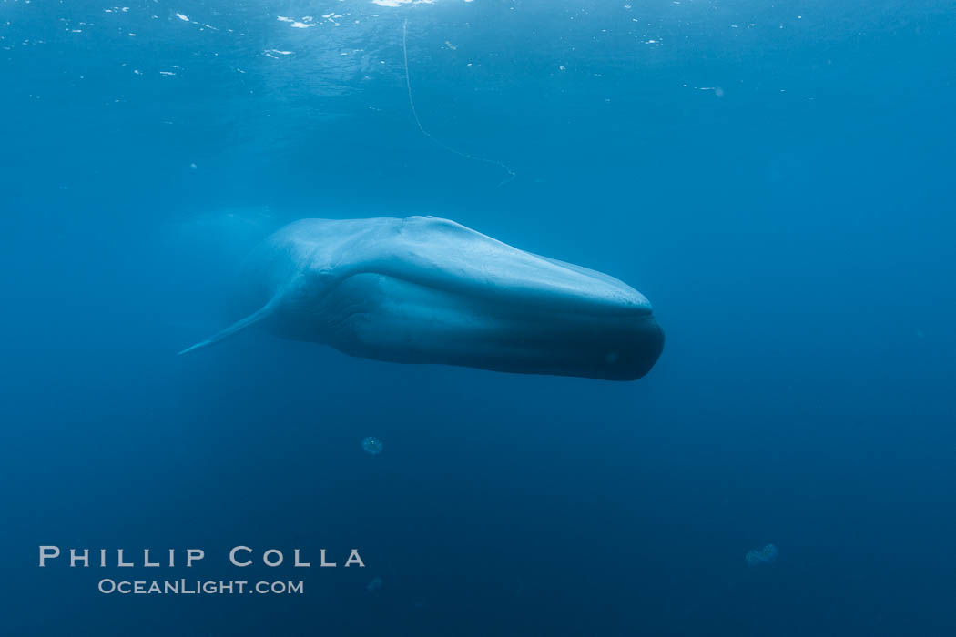 Image 27293, Blue whale underwater closeup photo.  This incredible picture of a blue whale, the largest animal ever to inhabit earth, shows it swimming through the open ocean, a rare underwater view.  Over 80' long and just a few feet from the camera, an extremely wide lens was used to photograph the entire enormous whale. California, USA, Balaenoptera musculus