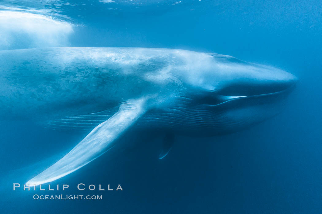 Image 27317, Blue whale underwater closeup photo.  This incredible picture of a blue whale, the largest animal ever to inhabit earth, shows it swimming through the open ocean, a rare underwater view.  Over 80' long and just a few feet from the camera, an extremely wide lens was used to photograph the entire enormous whale. California, USA, Balaenoptera musculus, Phillip Colla, all rights reserved worldwide. Keywords: animal, balaenoptera, balaenoptera musculus, balaenopteridae, baleine bleue, ballena azul, big, blue rorqual, blue whale, blue whales, cetacea, cetacean, creature, endangered, endangered threatened species, enormous, great blue whale, great northern rorqual, huge, large, mammal, marine, marine mammal, musculus, mysticete, mysticeti, nature, ocean, pacific, pacific ocean, rorqual, rorqual bleu, sea, sibbald's rorqual, sulphur bottom whale, threatened, underwater, whale, wild, wildlife.