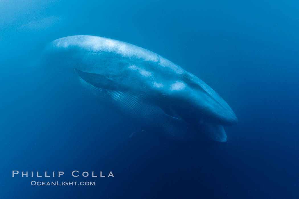 Blue whale feeding on krill underwater closeup photo.  A picture of a blue whale with its throat pleats inflated with a mouthful of krill. California, USA, Balaenoptera musculus, natural history stock photograph, photo id 27309