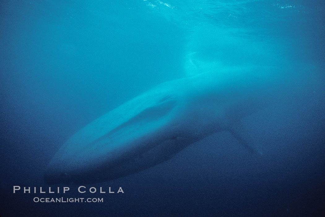 Blue whale, the largest animal ever to inhabit earth, swims through the open ocean, underwater view. Baja California, Mexico, Balaenoptera musculus, natural history stock photograph, photo id 02437