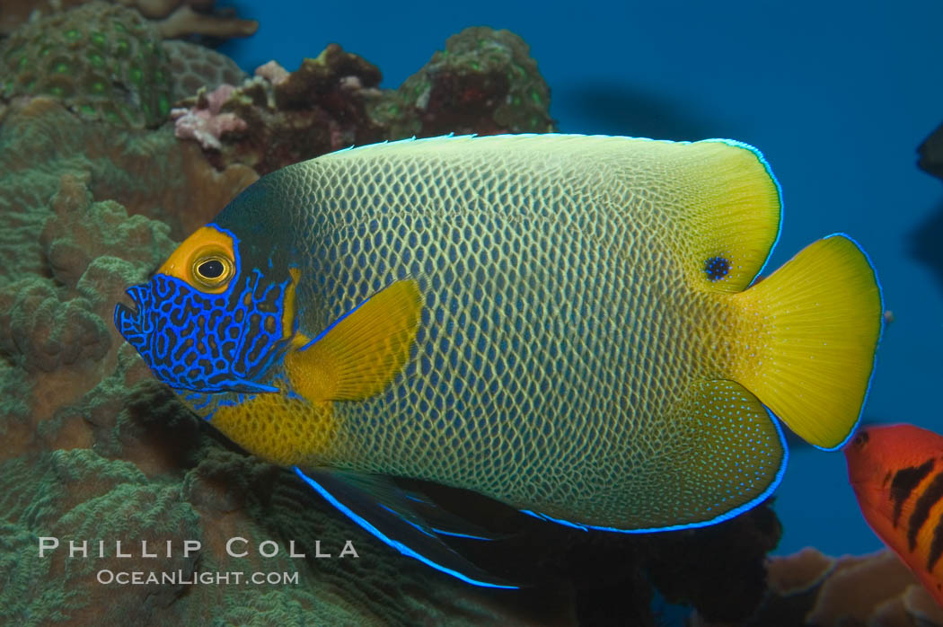 Image 07854, Blue face angelfish., Pomacanthus xanthometopon, Phillip Colla, all rights reserved worldwide. Keywords: angelfish, animal, blue face angel, blue-faced angelfish, blueface angelfish, color and pattern, fish, fish anatomy, indo-pacific, marine fish, mask or hidden eye, pomacanthus xanthometopon, underwater, yellow face angel, yellow-faced angelfish, yellowface angelfish, yellowmask angelfish.