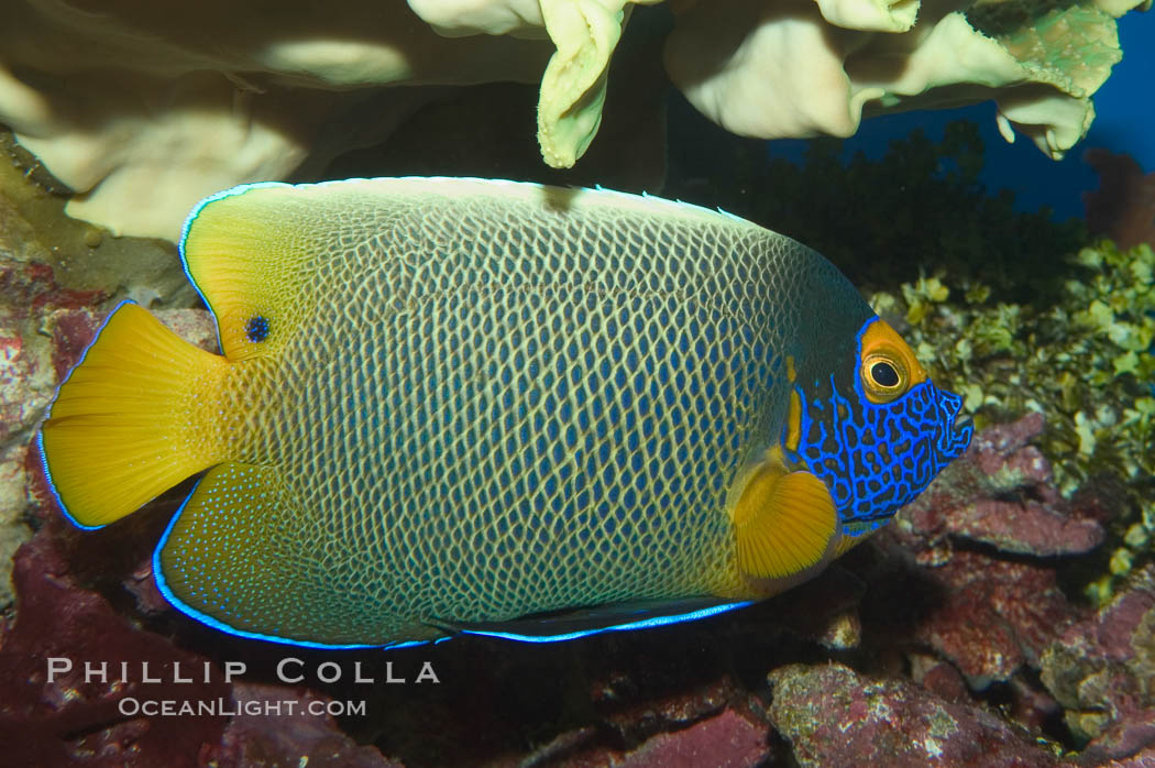 Image 07855, Blue face angelfish., Pomacanthus xanthometopon, Phillip Colla, all rights reserved worldwide. Keywords: angelfish, animal, blue face angel, blue-faced angelfish, blueface angelfish, color and pattern, fish, fish anatomy, indo-pacific, marine fish, mask or hidden eye, pomacanthus xanthometopon, underwater, yellow face angel, yellow-faced angelfish, yellowface angelfish, yellowmask angelfish.