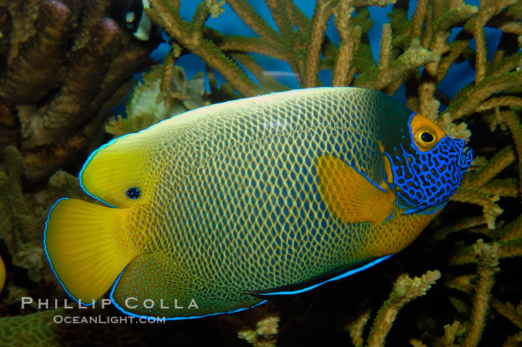 Blue face angelfish., Pomacanthus xanthometopon, natural history stock photograph, photo id 09455