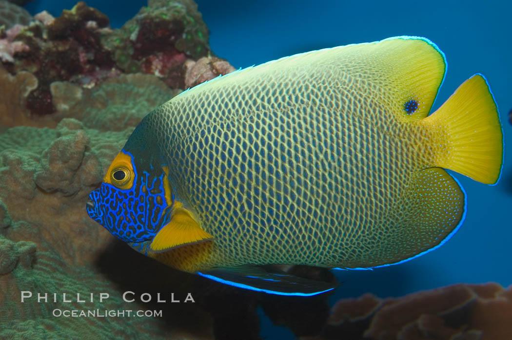 Image 07853, Blue face angelfish., Pomacanthus xanthometopon