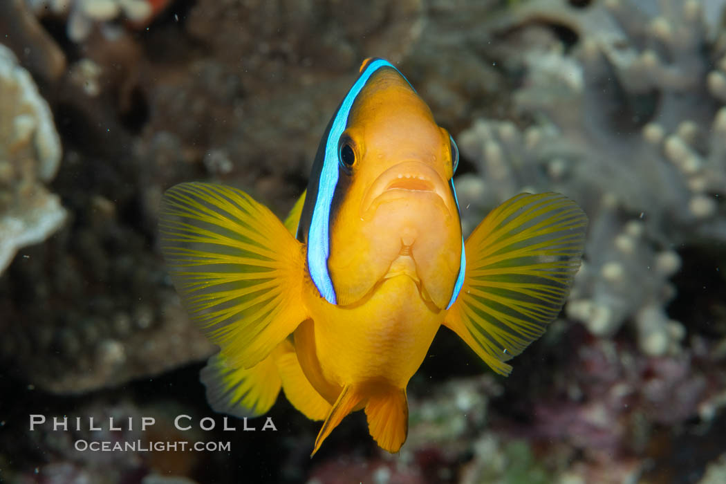 Bluestripe clownfish, Amphiprion chrysopterus, Fiji., Amphiprion chrysopterus, natural history stock photograph, photo id 34826