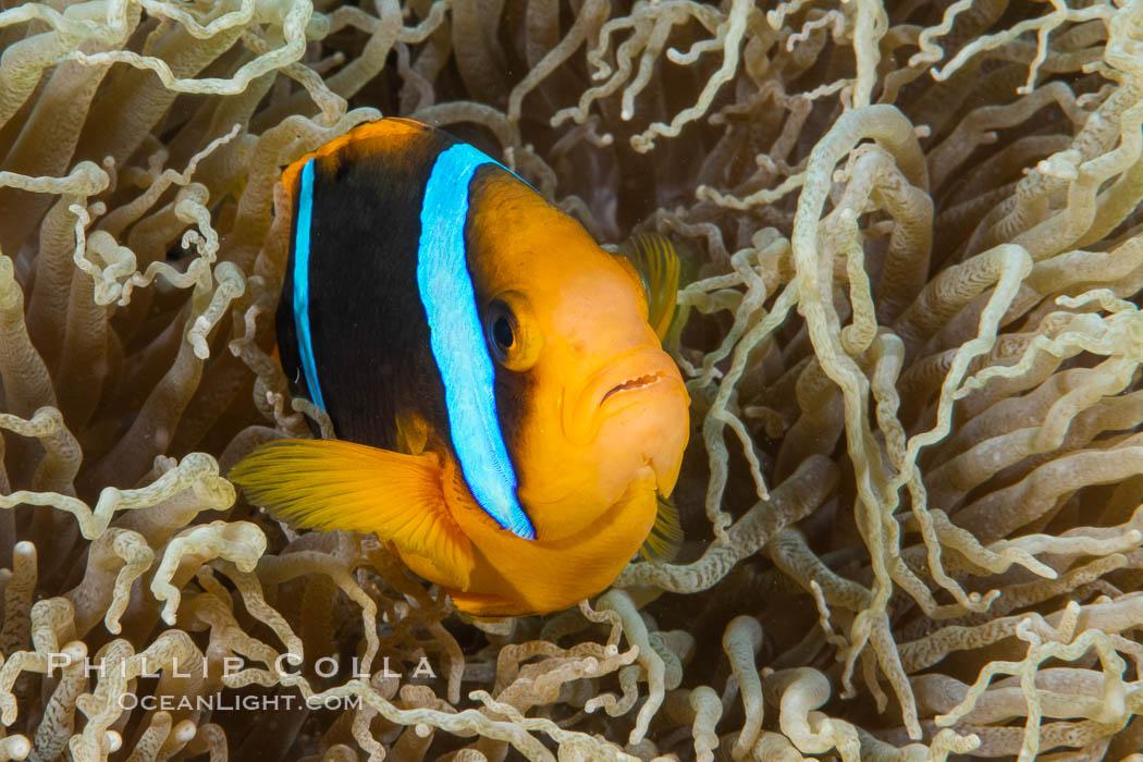 Bluestripe clownfish, Amphiprion chrysopterus, Fiji. Fiji, Amphiprion chrysopterus, natural history stock photograph, photo id 34992