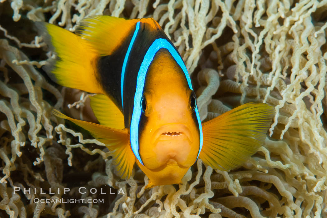 Bluestripe clownfish, Amphiprion chrysopterus, Fiji., Amphiprion chrysopterus, natural history stock photograph, photo id 34775