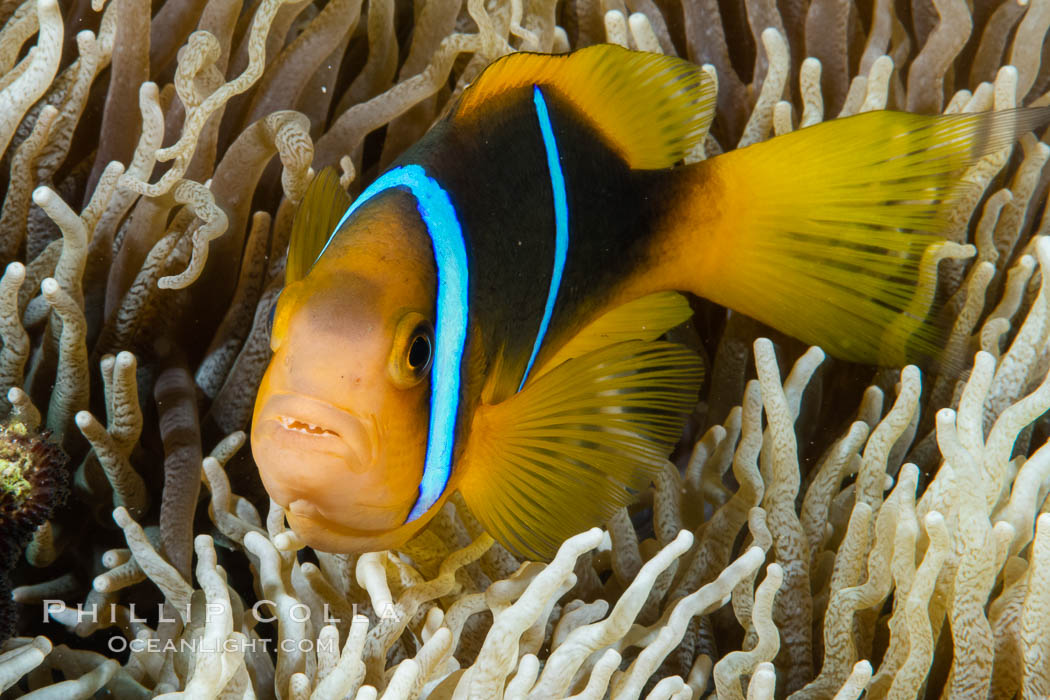Bluestripe clownfish, Amphiprion chrysopterus, Fiji., Amphiprion chrysopterus, natural history stock photograph, photo id 34863