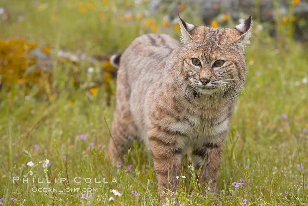 Bobcat, Sierra Nevada foothills, Mariposa, California., Lynx rufus, natural history stock photograph, photo id 15916