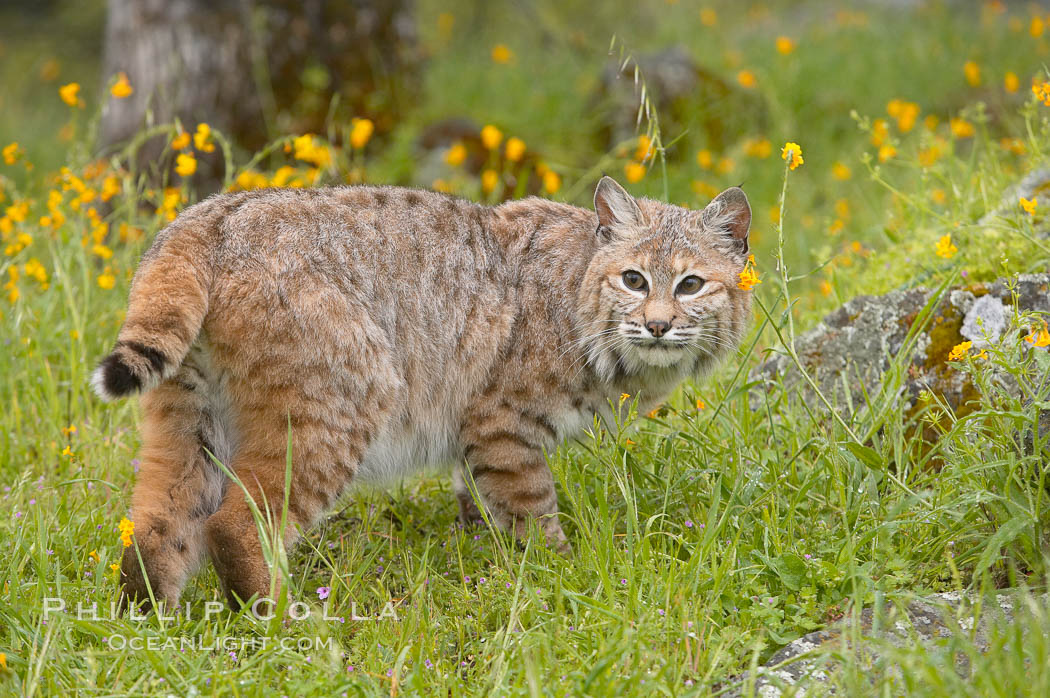 Bobcat, Sierra Nevada foothills, Mariposa, California., Lynx rufus, natural history stock photograph, photo id 15919