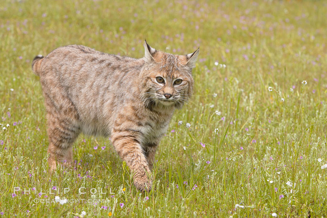 Image 15933, Bobcat, Sierra Nevada foothills, Mariposa, California., Lynx rufus, Phillip Colla, all rights reserved worldwide. Keywords: animal, animalia, bobcat, carnivora, carnivore, chordata, creature, felidae, feliformia, felinae, lynx, lynx rufus, mammal, nature, rufus, vertebrata, vertebrate, wildlife.