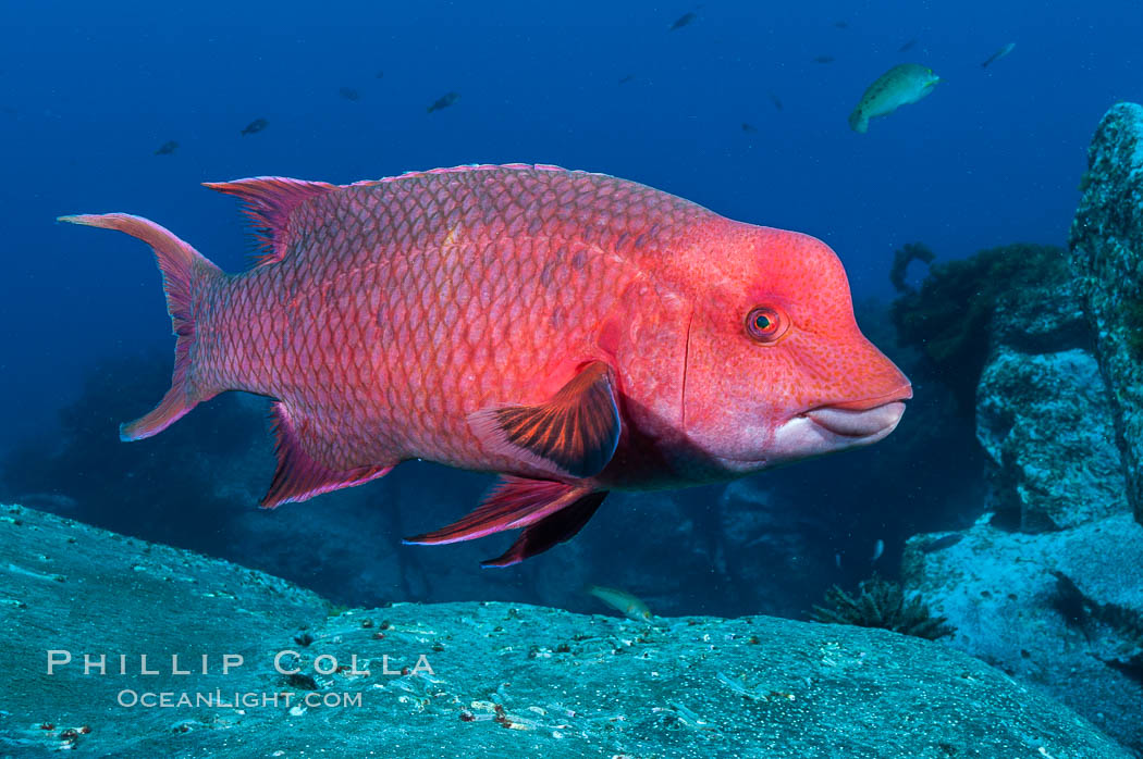 Mexican hogfish, adult male showing fleshy bump on head. Guadalupe Island (Isla Guadalupe), Baja California, Mexico, Bodianus diplotaenia, natural history stock photograph, photo id 09606