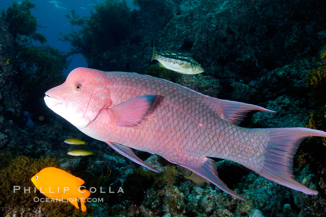 Mexican hogfish, adult male showing fleshy bump on head. Guadalupe Island (Isla Guadalupe), Baja California, Mexico, Bodianus diplotaenia, natural history stock photograph, photo id 09621