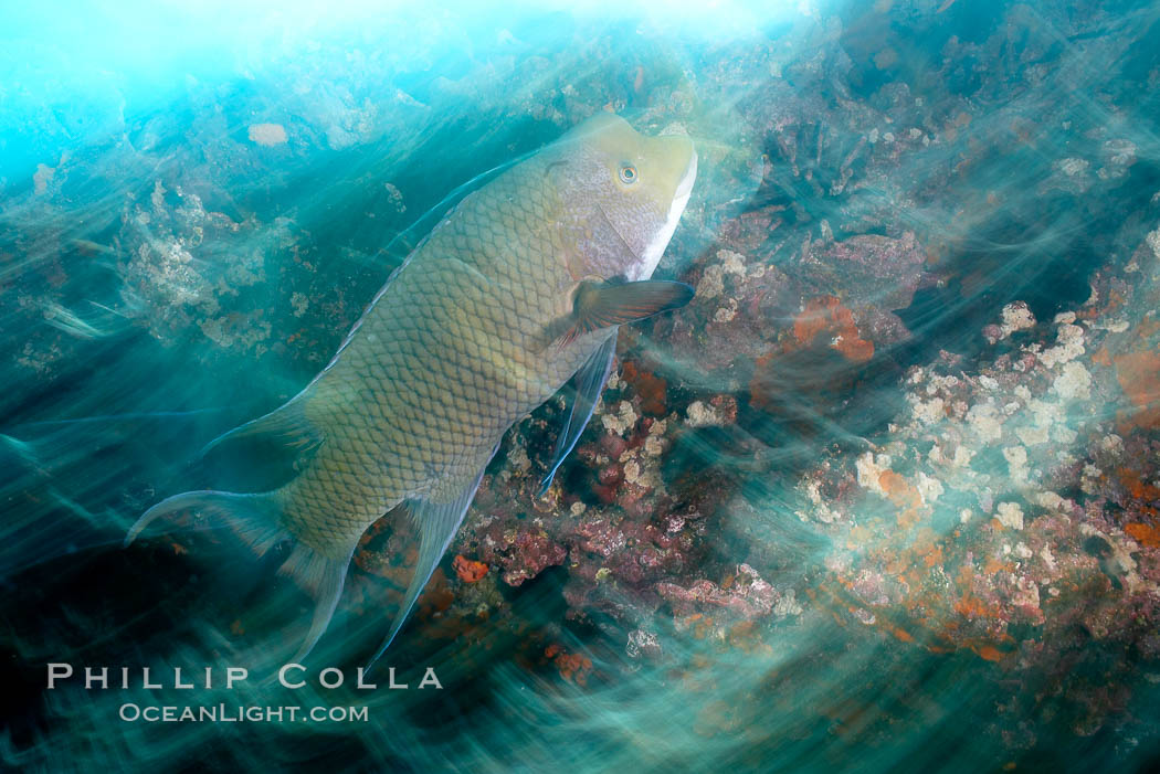 Image 16364, Galapagos hogfish, motion blur. Cousins, Galapagos Islands, Ecuador, Bodianus eclancheri, Phillip Colla, all rights reserved worldwide. Keywords: blur, bodianus eclancheri, cousins, cousins rock, ecuador, effect, galapagos, galapagos islands, harlequin wrasse, motion, motion blur, movement, ocean and motion, oceans, pacific, underwater, world heritage sites.