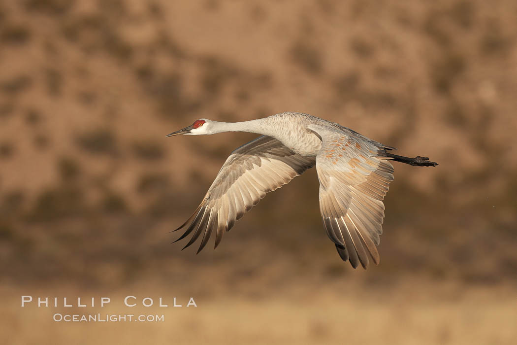 Sandhill crane spreads its broad wings as it takes flight in early morning light.  This crane is one of over 5000 present in Bosque del Apache National Wildlife Refuge, stopping here during its winter migration. Bosque del Apache National Wildlife Refuge, Socorro, New Mexico, USA, Grus canadensis, natural history stock photograph, photo id 21822