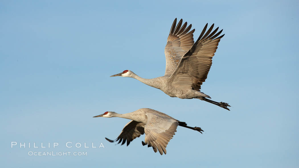 Sandhill cranes in flight, side by side in near-synchonicity, spreading their broad wides wide as they fly. Bosque del Apache National Wildlife Refuge, Socorro, New Mexico, USA, Grus canadensis, natural history stock photograph, photo id 21854