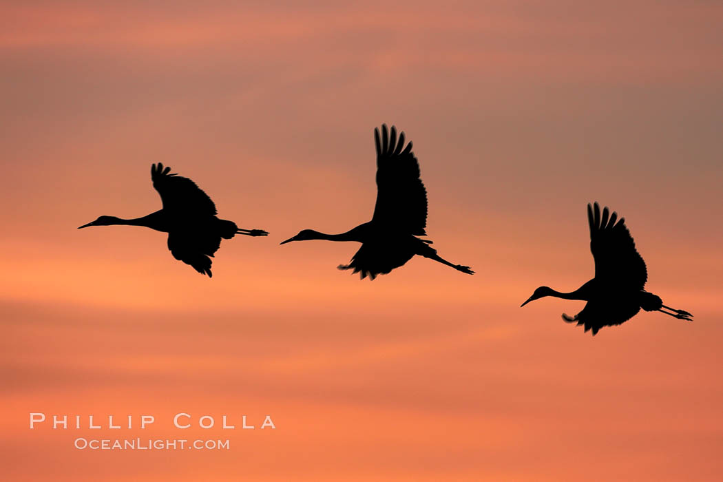 Sandhill cranes, flying across a colorful sunset sky, blur wings due to long time exposure. Bosque del Apache National Wildlife Refuge, Socorro, New Mexico, USA, Grus canadensis, natural history stock photograph, photo id 21812