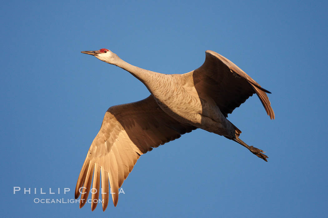 A sandhill crane in flight, spreading its wings wide which can span up to 6 1/2 feet. Bosque del Apache National Wildlife Refuge, Socorro, New Mexico, USA, Grus canadensis, natural history stock photograph, photo id 21807