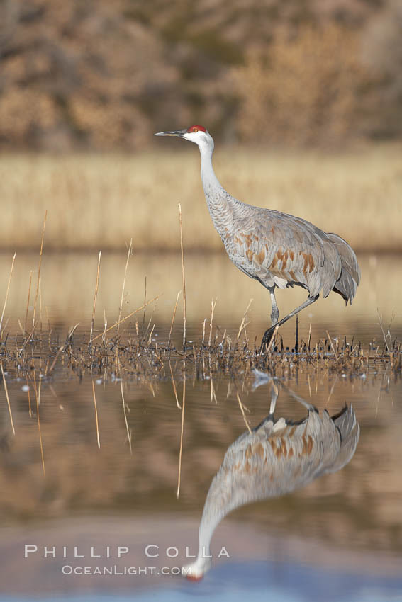 A sandhill crane is perfectly reflected, in mirror-calm waters at sunrise. Bosque del Apache National Wildlife Refuge, Socorro, New Mexico, USA, Grus canadensis, natural history stock photograph, photo id 21823
