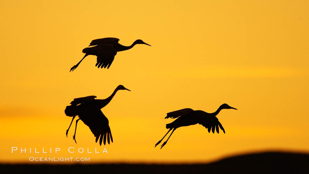 Sandhill cranes in flight, silhouetted against a richly colored evening sky. Bosque del Apache National Wildlife Refuge, Socorro, New Mexico, USA, Grus canadensis, natural history stock photograph, photo id 21831