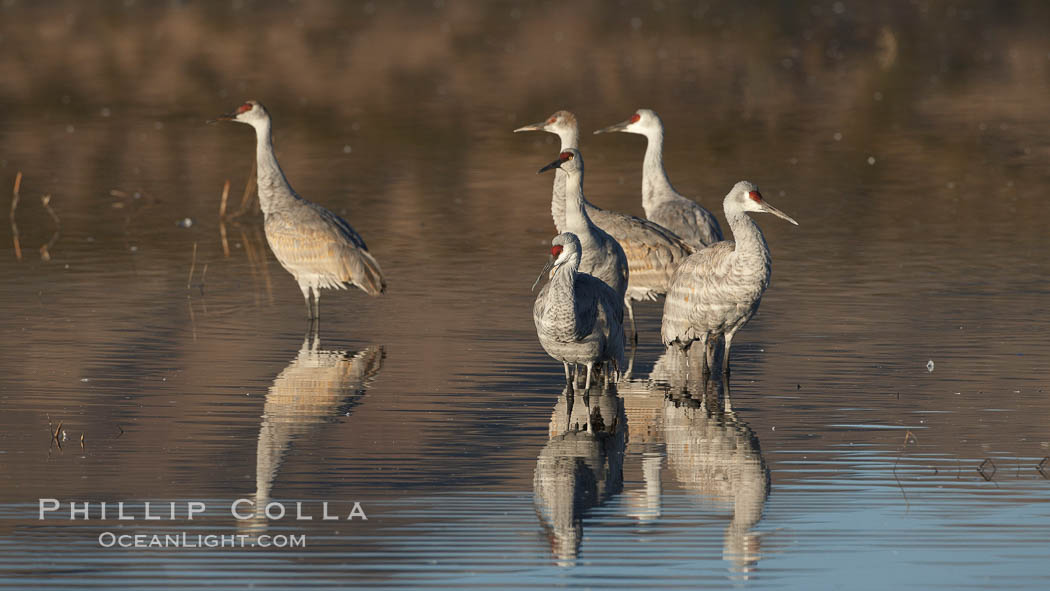 Sandhill cranes, reflected in the still waters of one of the Bosque del Apache NWR crane pools. Bosque del Apache National Wildlife Refuge, Socorro, New Mexico, USA, Grus canadensis, natural history stock photograph, photo id 21821