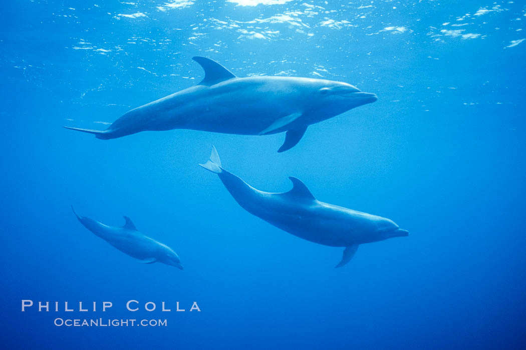 Pacific bottlenose dolphins underwater at Guadalupe Island, Mexico. Guadalupe Island (Isla Guadalupe), Baja California, natural history stock photograph, photo id 03279