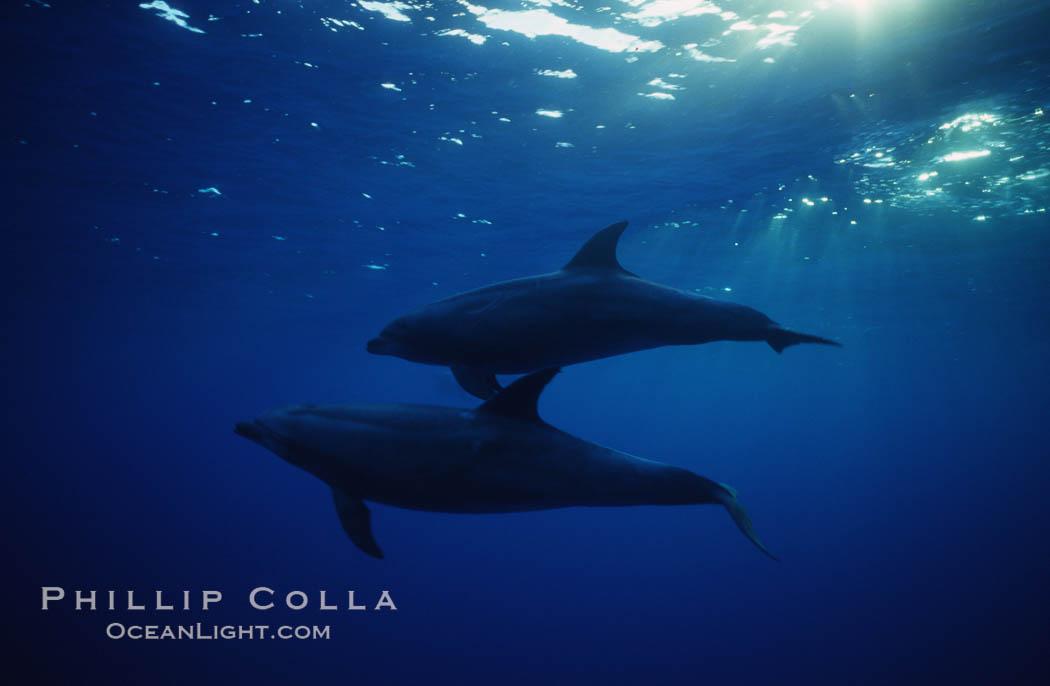 Image 04913, Pacific  bottlenose dolphin., Tursiops truncatus, Phillip Colla, all rights reserved worldwide. Keywords: bottlenose dolphin, bottlenosed dolphin, cetacea, cetacean, delphinidae, dolphin, marine mammal, odontocete, odontoceti, truncatus, tursiops, tursiops truncatus.