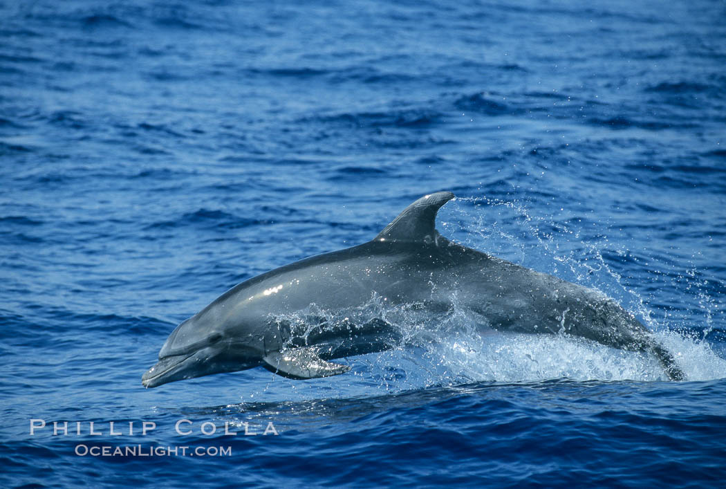 Pacific bottlenose dolphin. Maui, Hawaii, USA, Tursiops truncatus, natural history stock photograph, photo id 04564