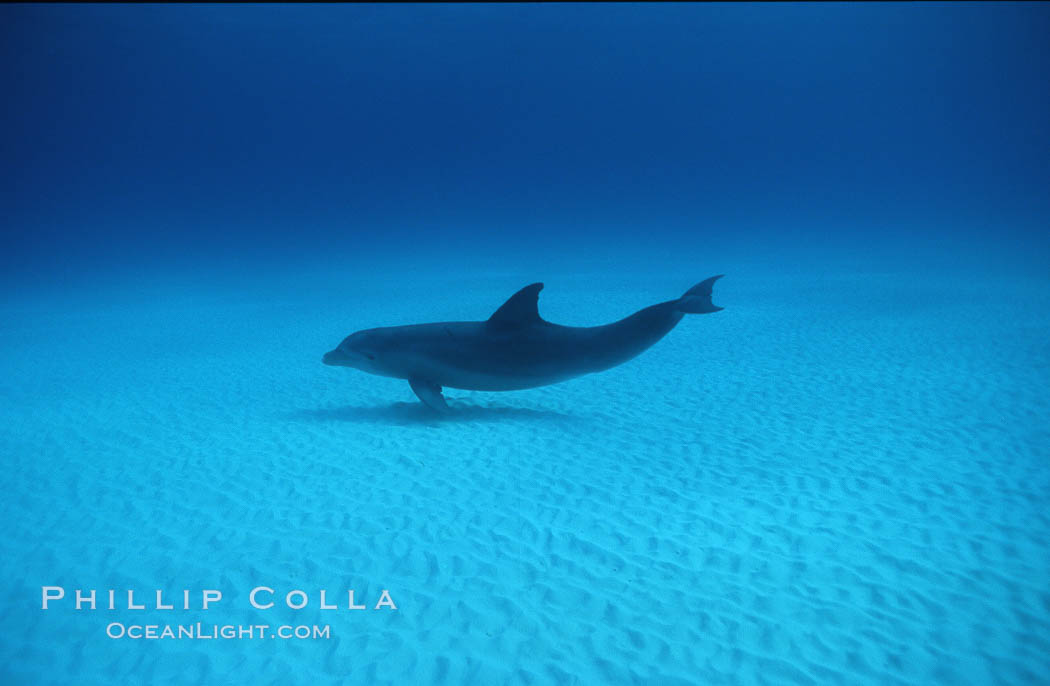 Atlantic bottlenose dolphin. Bahamas, Tursiops truncatus, natural history stock photograph, photo id 00699