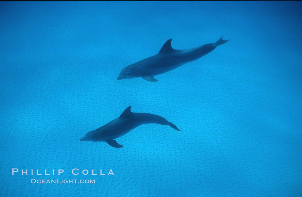 Image 04905, Atlantic  bottlenose dolphin. Bahamas, Tursiops truncatus, Phillip Colla, all rights reserved worldwide. Keywords: animal, atlantic, bahamas, bottlenose dolphin, bottlenosed dolphin, cetacea, cetacean, delphinidae, dolphin, marine mammal, oceans, odontocete, odontoceti, truncatus, tursiops, tursiops truncatus, underwater.