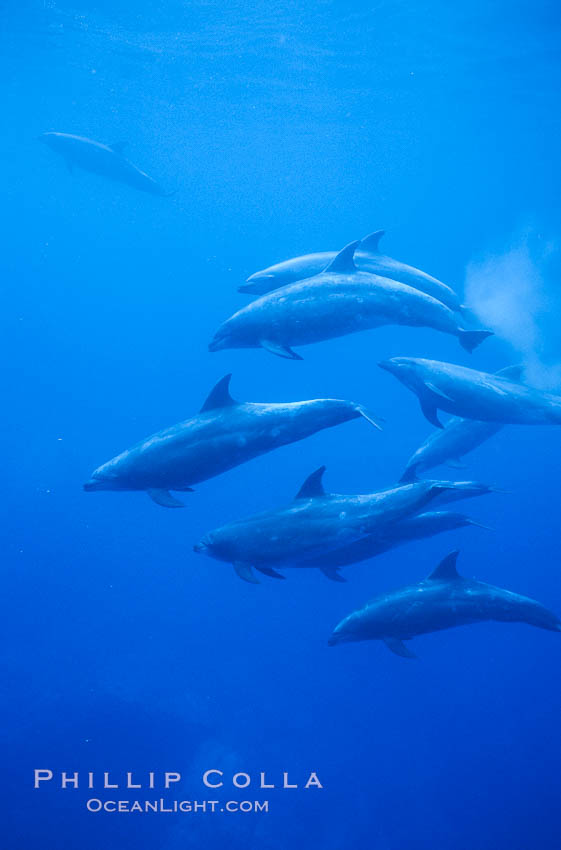 Pacific  bottlenose dolphin., Tursiops truncatus, natural history stock photograph, photo id 04917