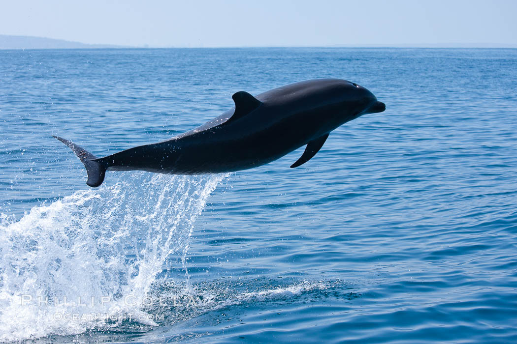 Bottlenose dolphin, leaping over the surface of the ocean, offshore of San Diego. San Diego, California, USA, Tursiops truncatus, natural history stock photograph, photo id 26808
