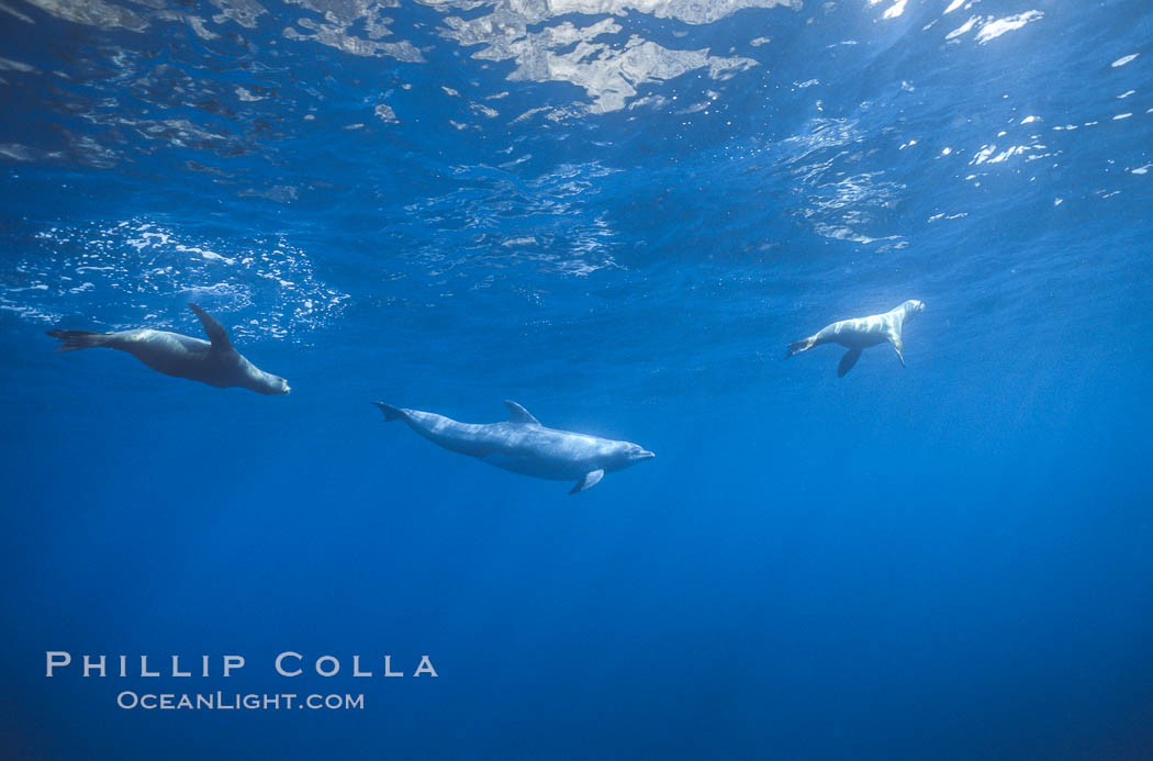 Pacific bottlenoses dolphin at Guadalupe Island, Mexico. Guadalupe Island (Isla Guadalupe), Baja California, natural history stock photograph, photo id 36243