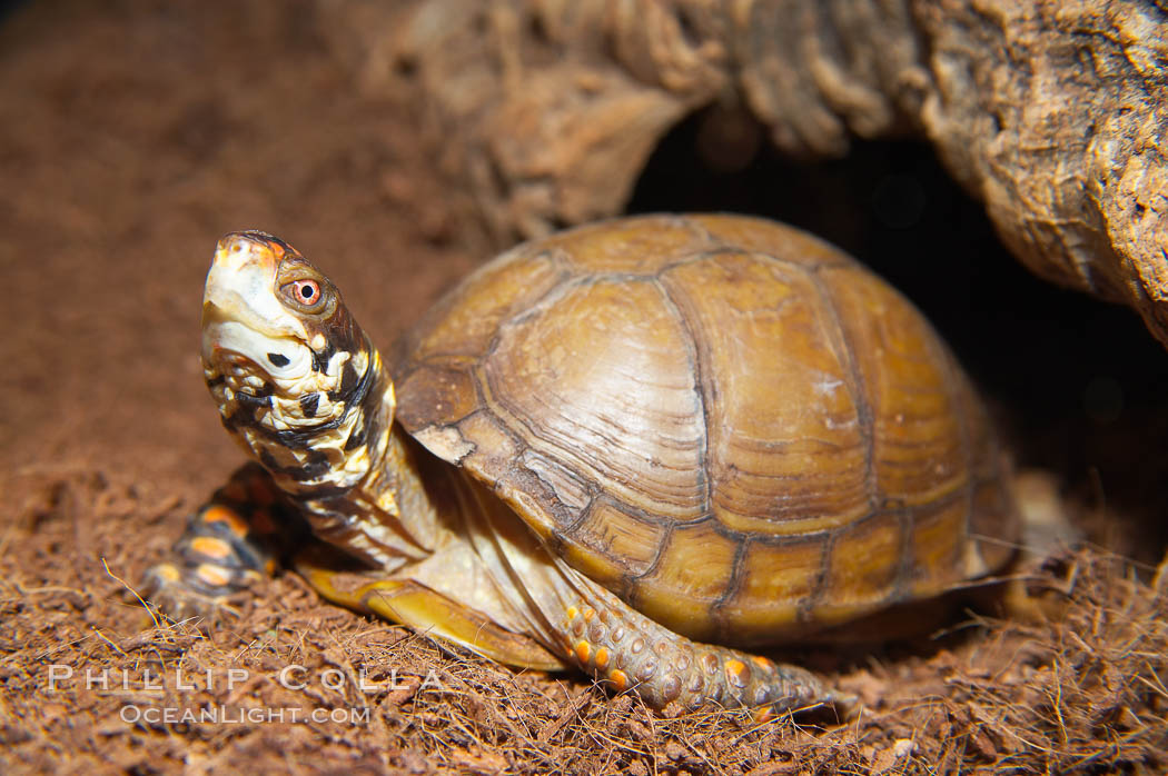 Box turtle.  Box turtles are famous for their hinged shells, which allow them to retract almost completely into their bony armor., Terrapene, natural history stock photograph, photo id 13988