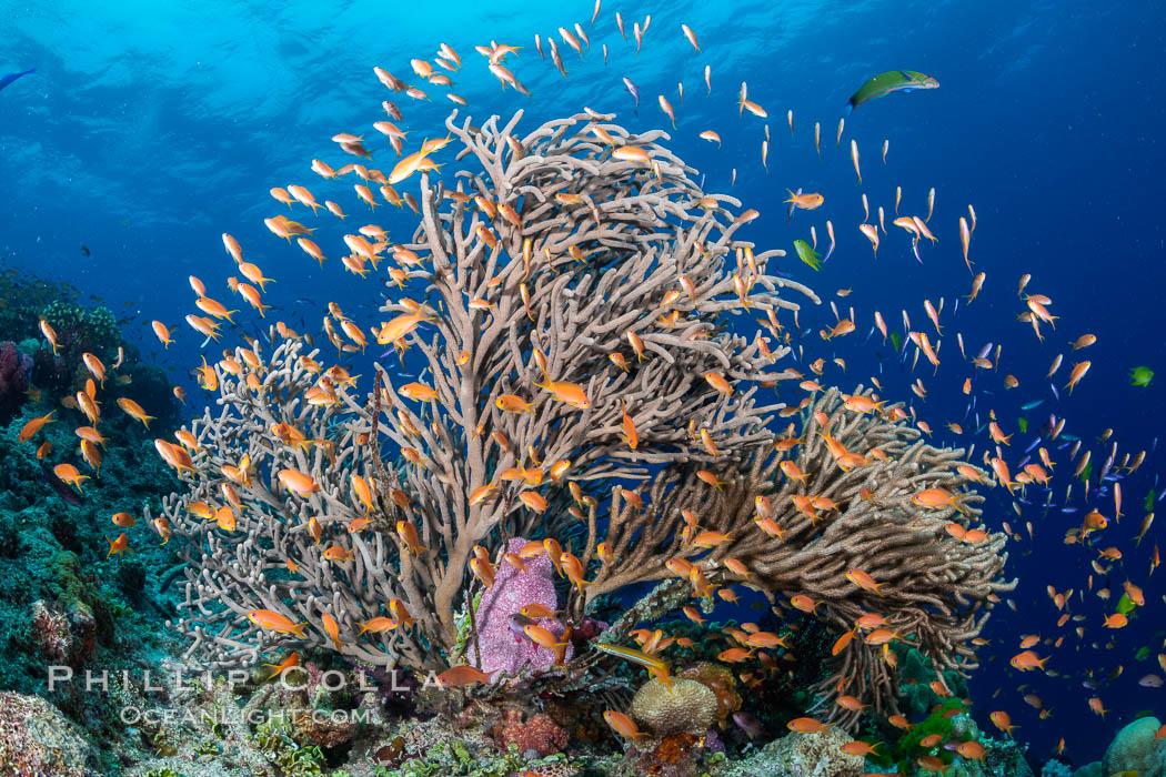 Branching whip coral (Ellisella sp) captures passing planktonic food in ocean currents, Fiji, Pseudanthias, Ellisella, Bligh Waters
