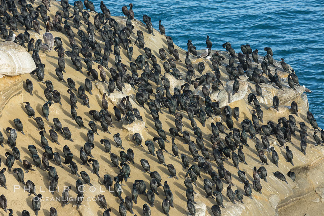Brandt's cormorant. La Jolla, California, USA, natural history stock photograph, photo id 30419