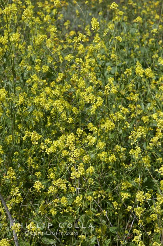 Black mustard, Batiquitos Lagoon, Carlsbad. Batiquitos Lagoon, Carlsbad, California, USA, Brassica nigra, natural history stock photograph, photo id 11298
