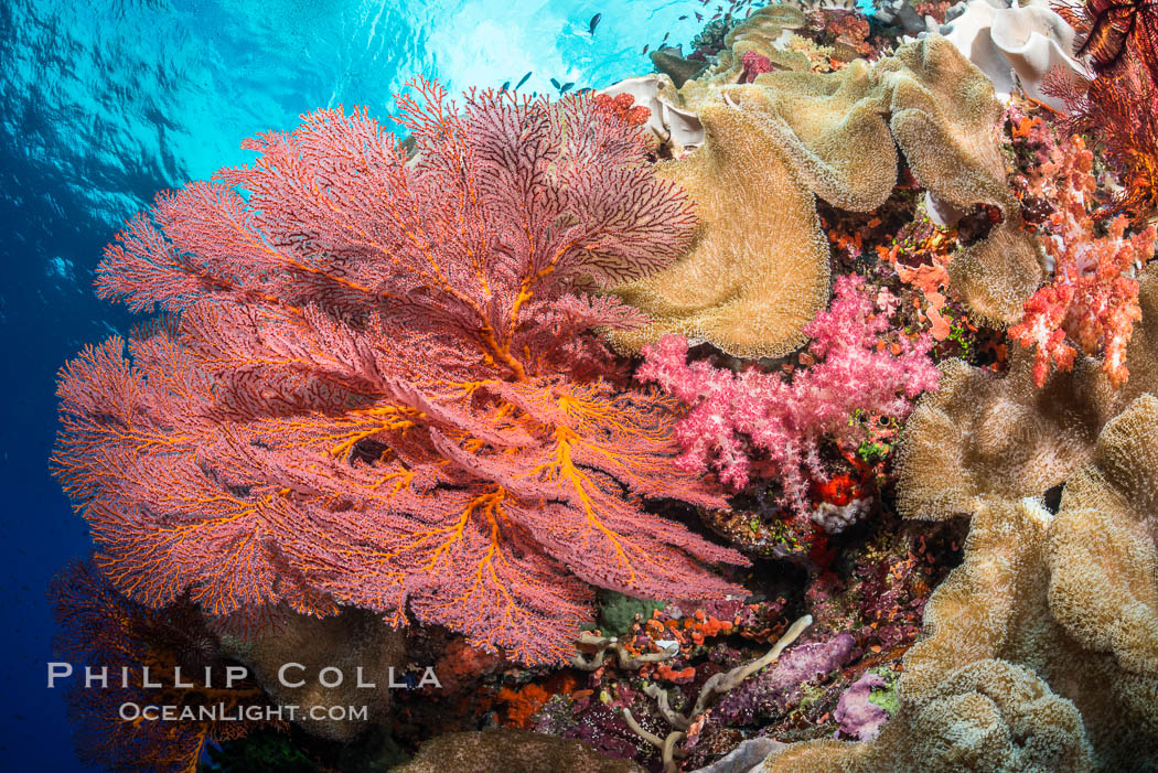 Image 31325, Bright red Plexauridae sea fan gorgonian and yellow sarcophyton leather coral on pristine coral reef, Fiji. Vatu I Ra Passage, Bligh Waters, Viti Levu  Island, Sarcophyton, Gorgonacea, Plexauridae, Phillip Colla, all rights reserved worldwide. Keywords: alcyonacea, alcyoniidae, animalia, anthozoa, bligh waters, cnidaria, colonial octocoral, coral, coral reef, fiji, fiji islands, fijian islands, gorgonacea, gorgonian, island, leather coral, marine, nature, oceania, octocorallia, pacific ocean, plexauridae, reef, sarcophyton, sea fan, south pacific, toadstool coral, tropical, underwater, vatu i ra, vatu i ra passage, viti levu.