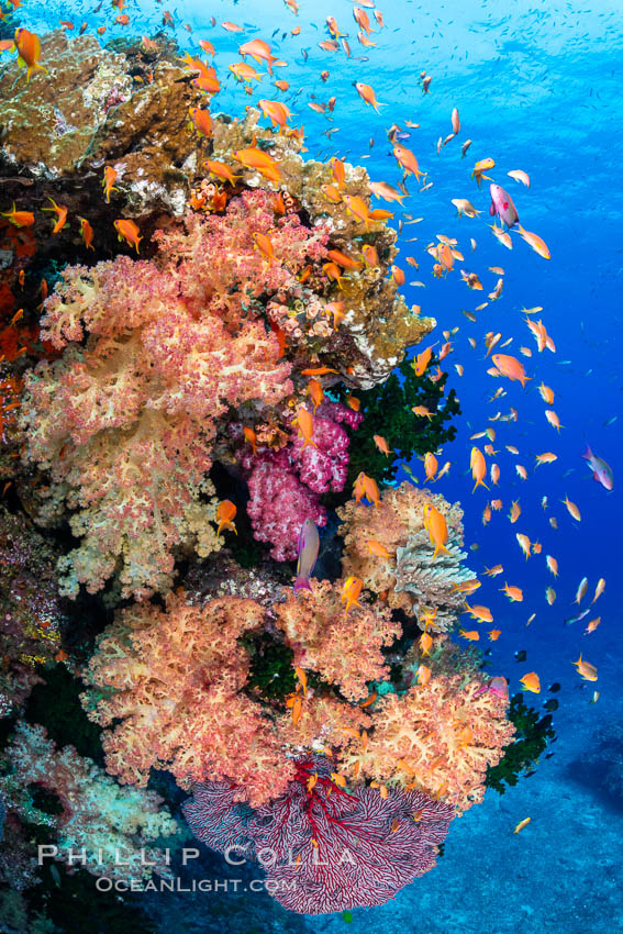 Brilliantlly colorful coral reef, with swarms of anthias fishes and soft corals, Fiji. Bligh Waters, Dendronephthya, Pseudanthias, natural history stock photograph, photo id 34834