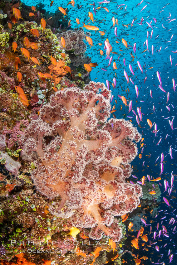 Brilliantlly colorful coral reef, with swarms of anthias fishes and soft corals, Fiji., Dendronephthya, Pseudanthias, natural history stock photograph, photo id 34804