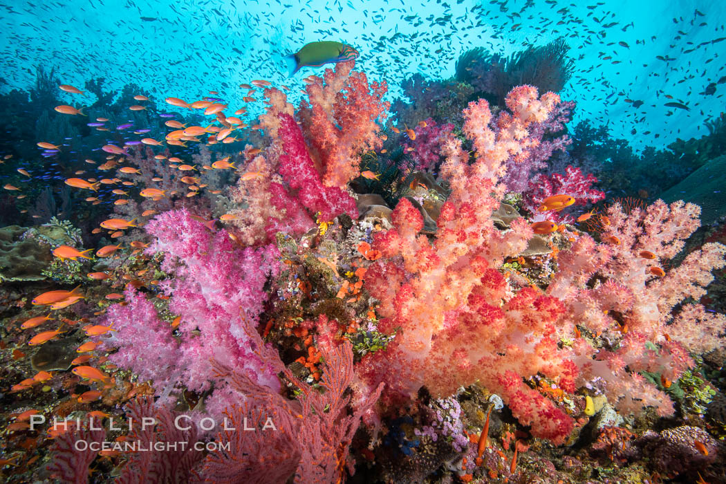 Brilliantlly colorful coral reef, with swarms of anthias fishes and soft corals, Fiji. Fiji, Dendronephthya, Pseudanthias, natural history stock photograph, photo id 34808