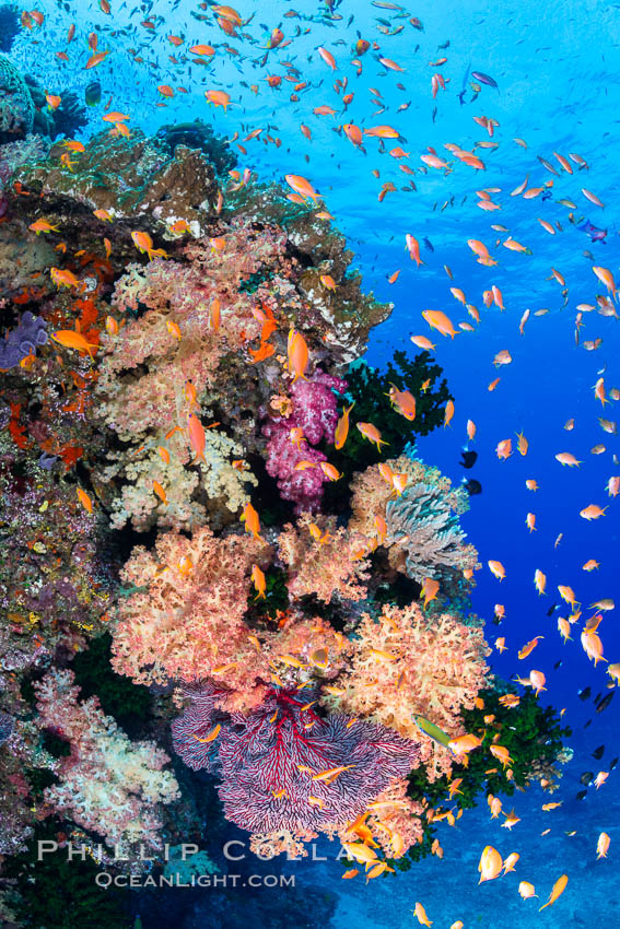 Brilliantlly colorful coral reef, with swarms of anthias fishes and soft corals, Fiji. Bligh Waters, Dendronephthya, Pseudanthias, natural history stock photograph, photo id 34932