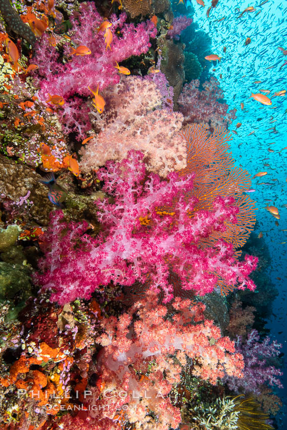 Image 34743, Brilliantlly colorful coral reef, with swarms of anthias fishes and soft corals, Fiji. Fiji, Dendronephthya, Pseudanthias